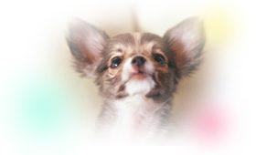 犬 ジステンパー